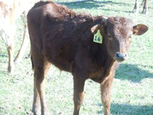 RJF MIDNIGHT BULL CALF TAG 16